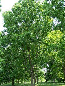 Carya_illinoinensis pecan træ