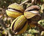billede-frugt